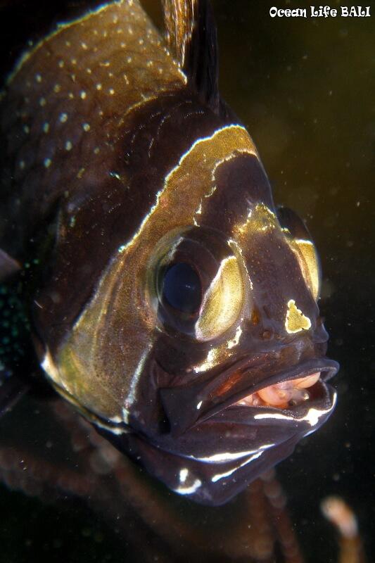 インドネシアでしか見られない魚、バンガイカーディナルフィッシュ